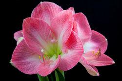 Amaryllis - der schöne Winterblüher