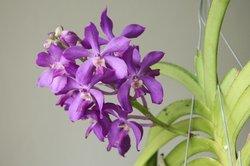 Edel ist die Bedeutung der Orchidee.
