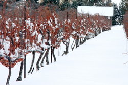 Die Trauben für Eiswein werden bei anhaltendem Frost geerntet.