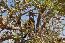 Den Arganbaum finden Sie nur in Marokko.
