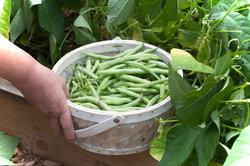 Fast alle Bohnensorten eignen sich für den Anbau im eigenen Garten.
