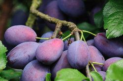 Ein Pflaumenbaum kann von verschiedenen Schädlingen befallen werden.