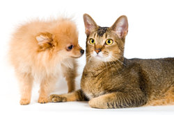 Die Besonderheiten der Savannah-Katze