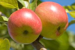 Der Rewena-Apfel ist äußerst beliebt.