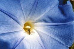 Blau ist eine schöne Pflanzenfarbe.