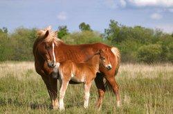 Stute mit Fohlen - Pferdemilch ist besonders wertvoll.