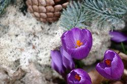 Krokusse sorgen für frühzeitige Blüte.