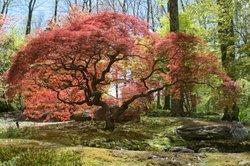 Der Fächerahorn wird auch Japanischer Ahornbaum genannt.