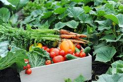 Biogemüse kann in jedem Garten angebaut werden.
