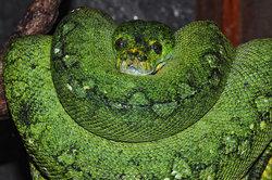 Das Zungenpiercing erinnert optisch an Schlangenaugen