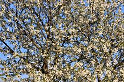 Pflaumenbäume blühen schon früh im Jahr.