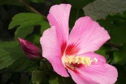 Ein blühender Gartenhibiskus, auch Strauch-Eibisch genannt