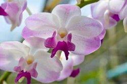Wenn Orchideen nicht blühen, kann das verschiedene Ursachen haben.