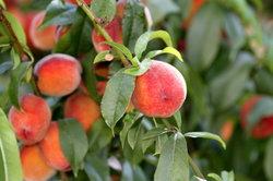 Ein Pfirsichbaum mag es warm.