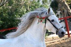 Andalusier gehören zu den barocken Pferderassen.