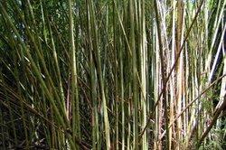 Bambus ist perfekt geeignet als Sichtschutz.
