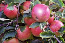 Ein gesunder Apfelbaum trägt reiche Ernte.
