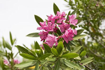 Prächtige Blüten und sattgrüne Blätter - so sollte der Oleander aussehen.