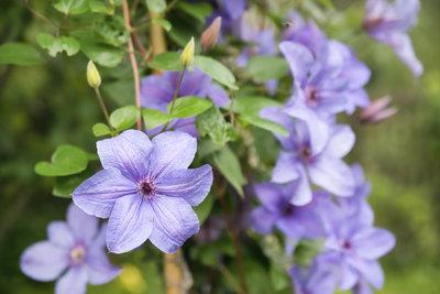 Clematis - ein rankender Blütenreichtum im Garten.