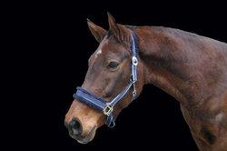 Der Trakehner ist sein edles, graziöses Pferd.