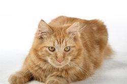 Warzen bei Katzen sind in der Regel harmlos.