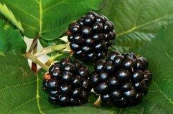 Ein ausreichender Pflanzabstand kann Krankheiten der Brombeere vorbeugen.