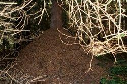 Ameisenhügel direkt an einem Baum.