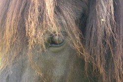 Das Islandpferd - eine faszinierende Rasse.
