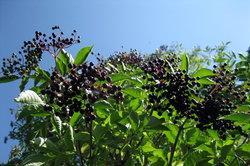 Holunder wird seit Jahrhunderten in der Kräuterheilkunde verwendet.