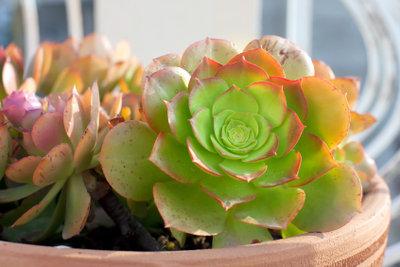 Dickblättrige Zimmerpflanzen eignen sich auch für alle ohne grünen Daumen.