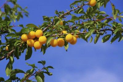 Kleine gelbe Pflaumen lassen sich gut zu Marmelade verarbeiten.
