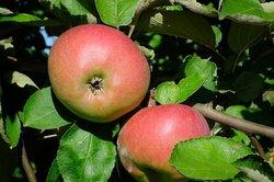 Äpfel sind sehr gesund