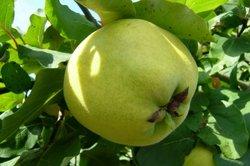 Besonders gesund - Äpfel aus dem Garten.