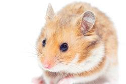 Hamster sind unfassbar süß und geben tolle Kostümideen her.