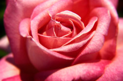 Gesunde Rosenstöcke bekommen große, kräftige Blüten.