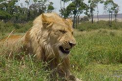 Löwen weisen vielfätige Farbschattierungen auf.