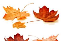 Ahorn ist bekannt für seine kräftige Herbstfärbung.