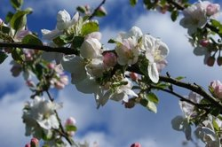 Ein Apfelbaum ist ein beliebter Baum zur Hochzeit.