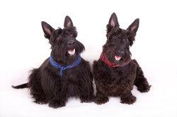 Schottische Hundenamen sind oft sehr alt.