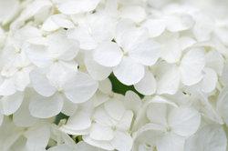 """Die Hortensie """"Limelight"""" ist besonders robust und pflegeleicht."""