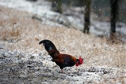Auch im Winter sind Hühner gerne draußen.