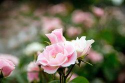 Es gibt auch robuste Rosensorten.
