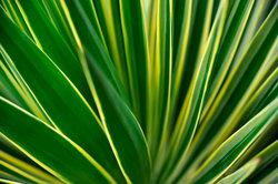 Die Yucca-Palme lässt sich problemlos kürzen.
