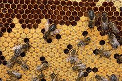Drohnen und Arbeitsbienen auf einer Wabe