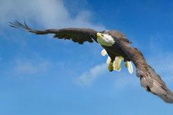 Der American Eagle auf Kleidung und Münzen