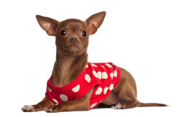 Hundekleidung schützt den Mini Chihuahua vor Kälte.