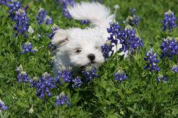 Der Maltipoo ist eine kleine, energiegeladene Hunderasse.