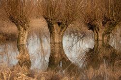 Wie ihre Verwandten benötigt die Harlekin-Weide viel Wasser.