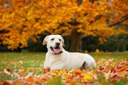 Die Labrador-Hündin lockt einen Rüden an.