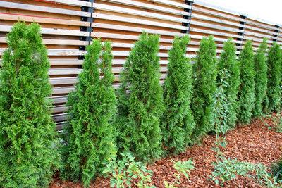 Die Thuja wächst in wenigen Jahren zu einer dichten Hecke zusammen.